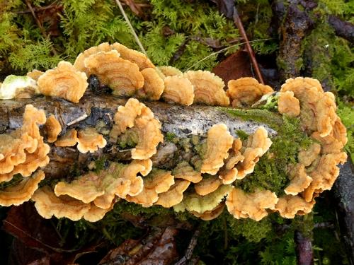 fungi becks burn 1