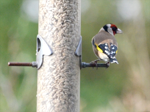 Goldfinch looking round
