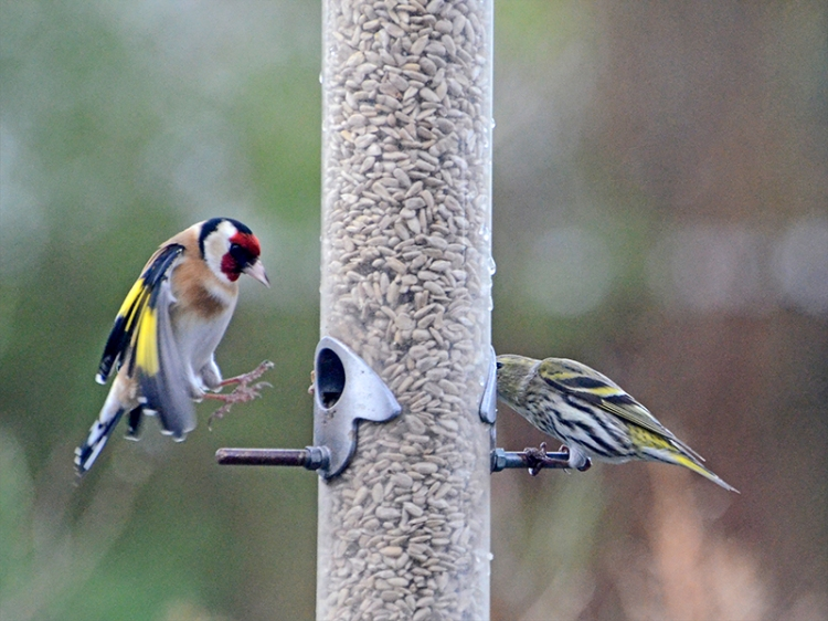 goldfinch putting its feet up