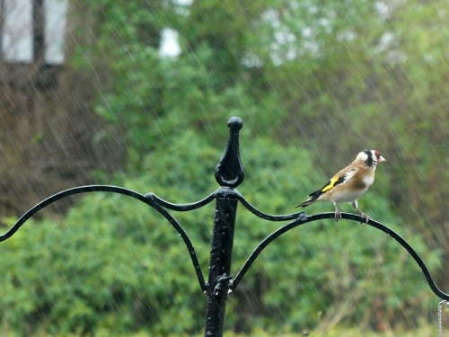 goldfinch rain