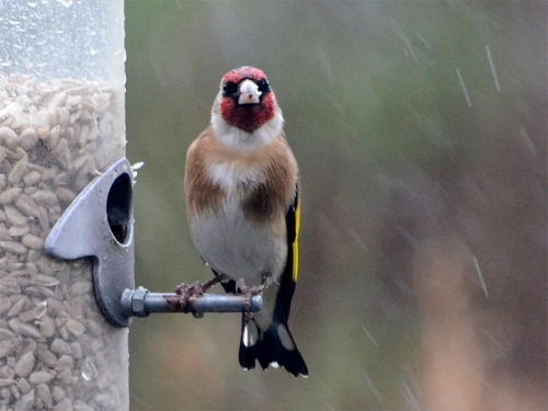 goldfinch sitting up straight