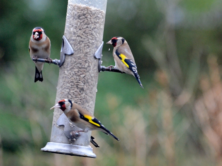 goldfinches in the wind
