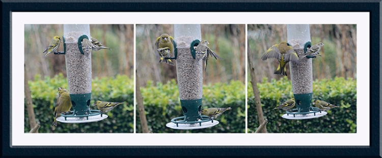 greenfinch and siskins