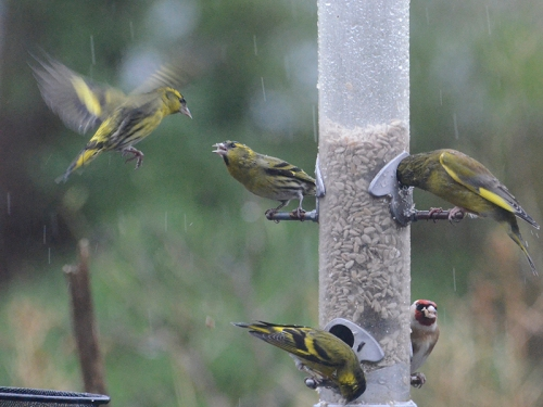 greenfinch siskins rain 2