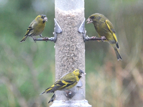 greenfinch siskins rain
