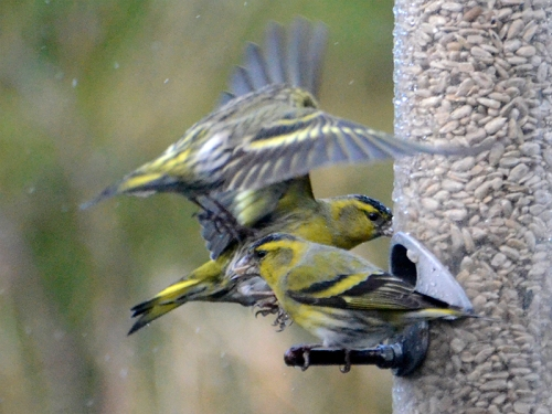 heap of siskins