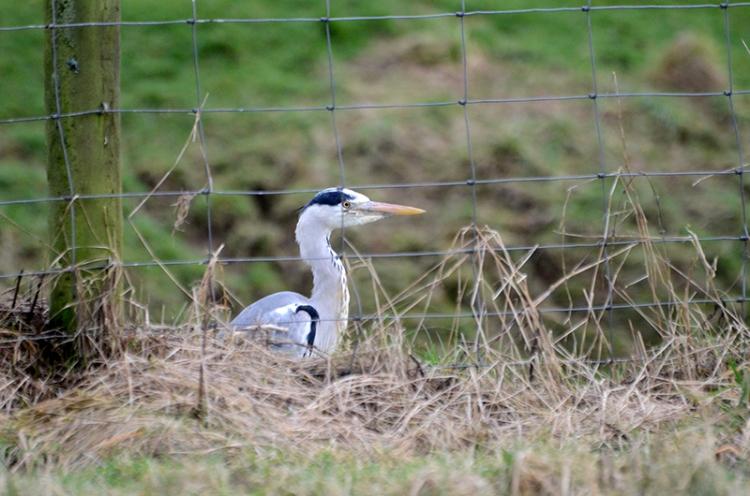 heron behind fence