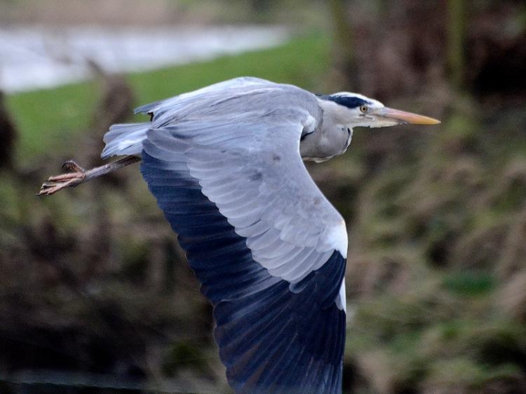 heron flying with head