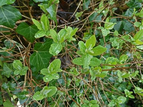 honeysuckle leaves