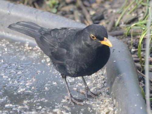 hungry blackbird