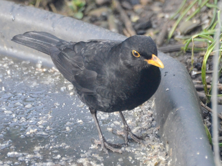 hungry blackbird