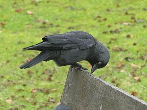 jackdaw on park bench