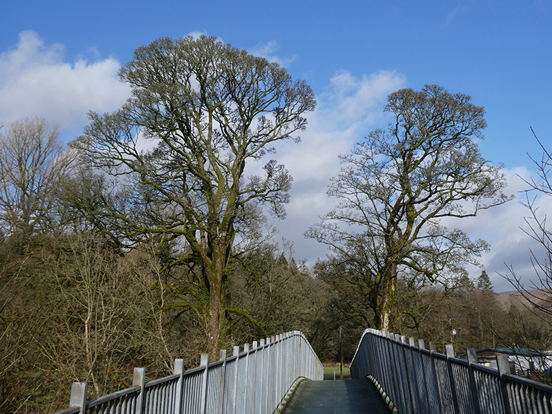 jubilee bridge trees