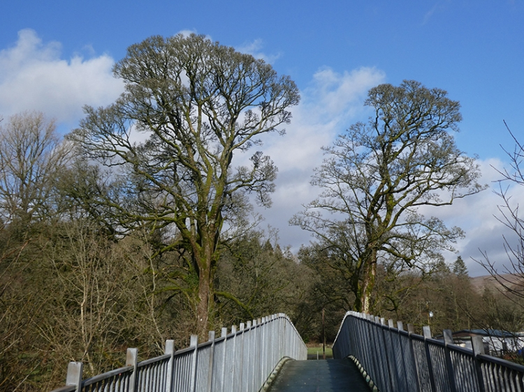 jubilee bridge trees