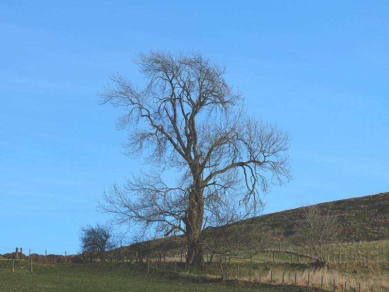 Lamb Hill tree