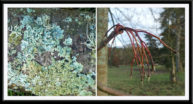 lichen and buds