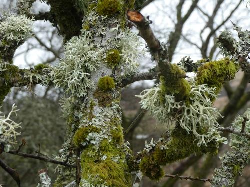 lichen on hedge becks road