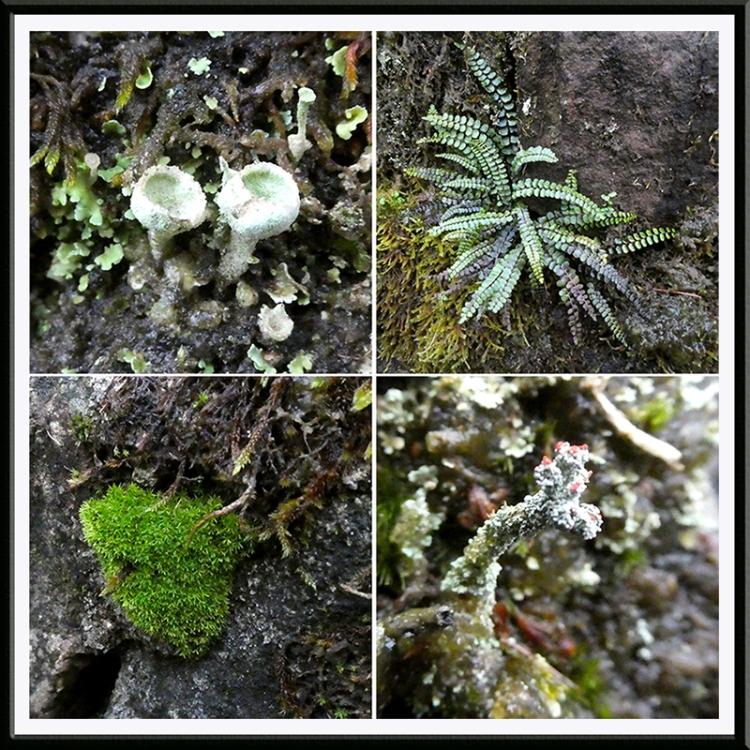 lichen, spleenwort, moss park wall
