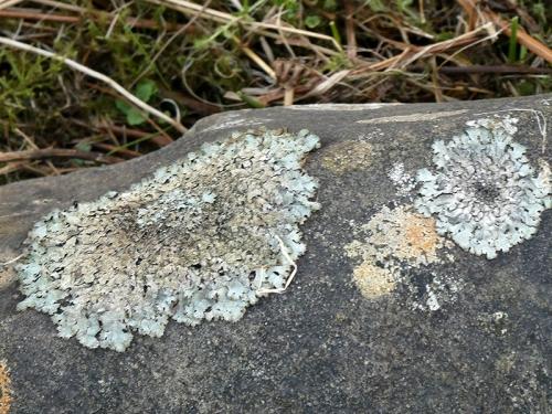 lichen tarras Road 2