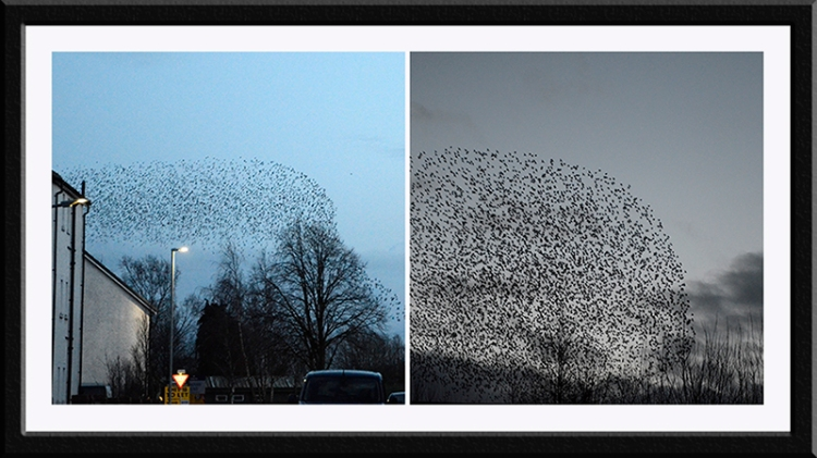longtown starlings 26 feb 1