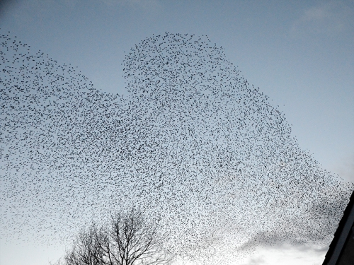 longtown starlings 26 feb 2