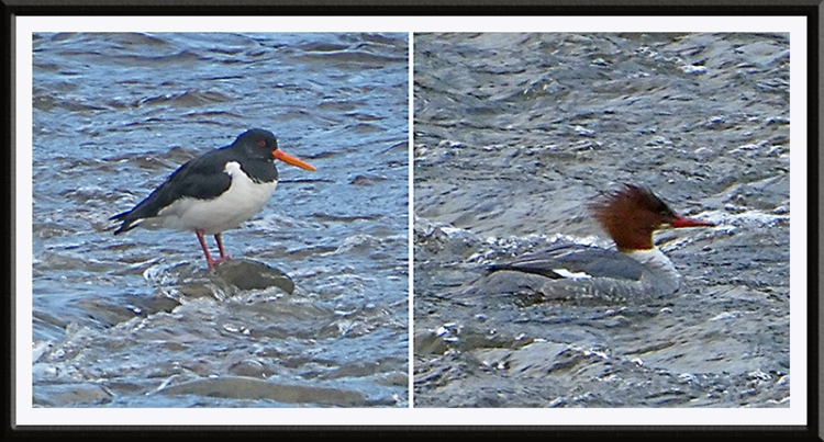 oyster catcher and goosander