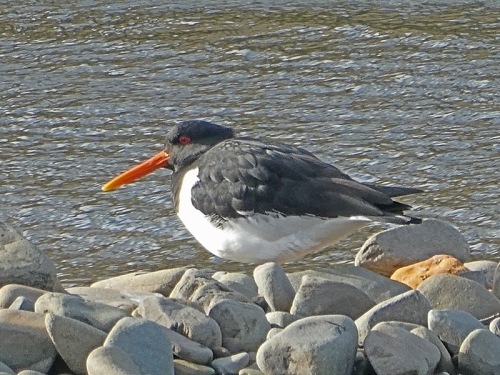 oyster catcher at meeting of waters