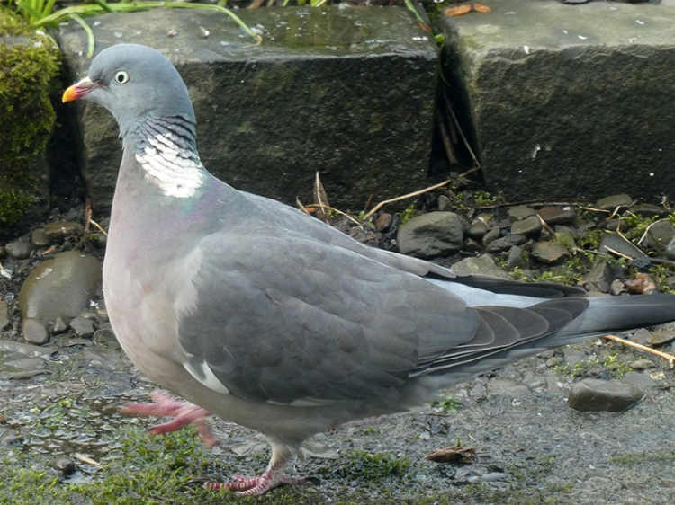 pigeon strut