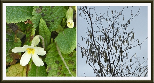 primrose and catkins