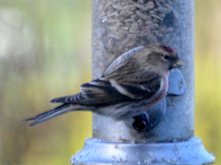 redpoll on feeder