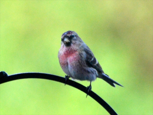 redpoll on pole