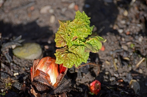 rhubarb developing