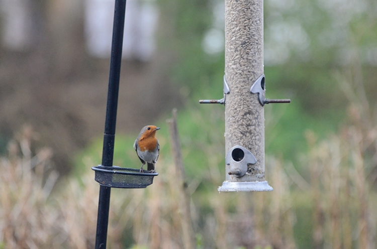 robin at feeder