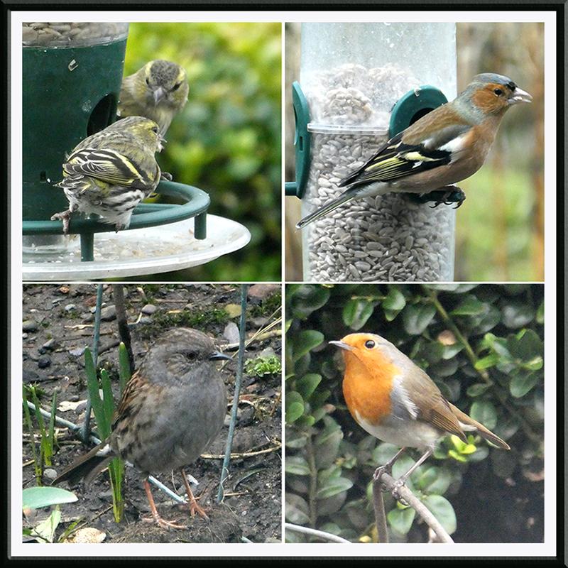 robin, dunnock, chaffinch, siskin