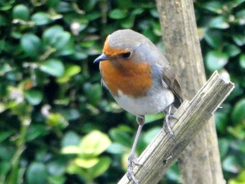 robin on stalk