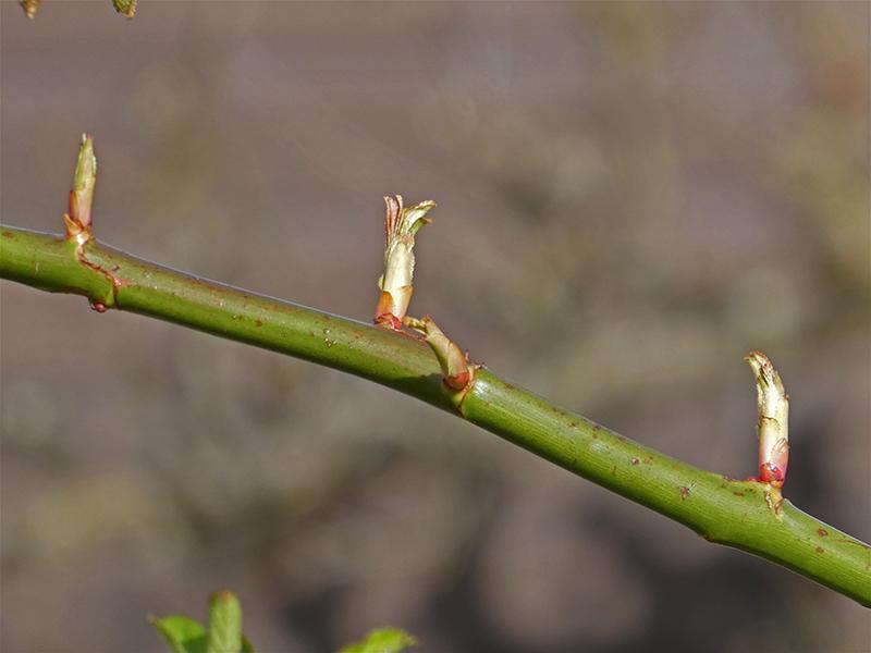 rose leaves shooting
