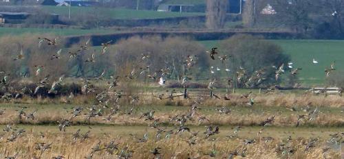 RSPB West Sedgemoor teal