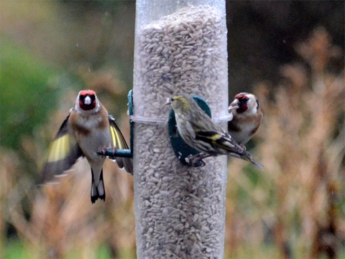second feeder goldfinches