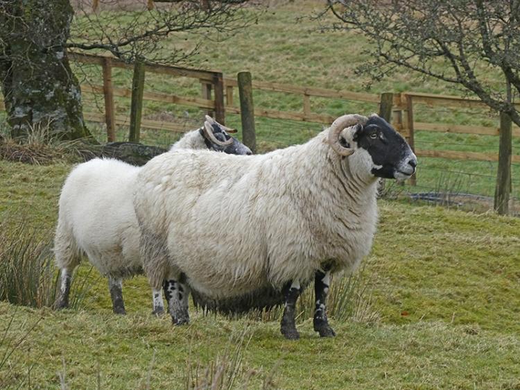 sheep becks track