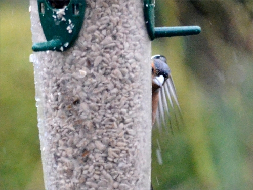shy chaffinch