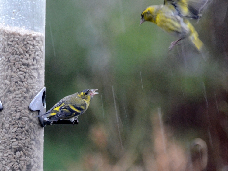 siskin coming from on high