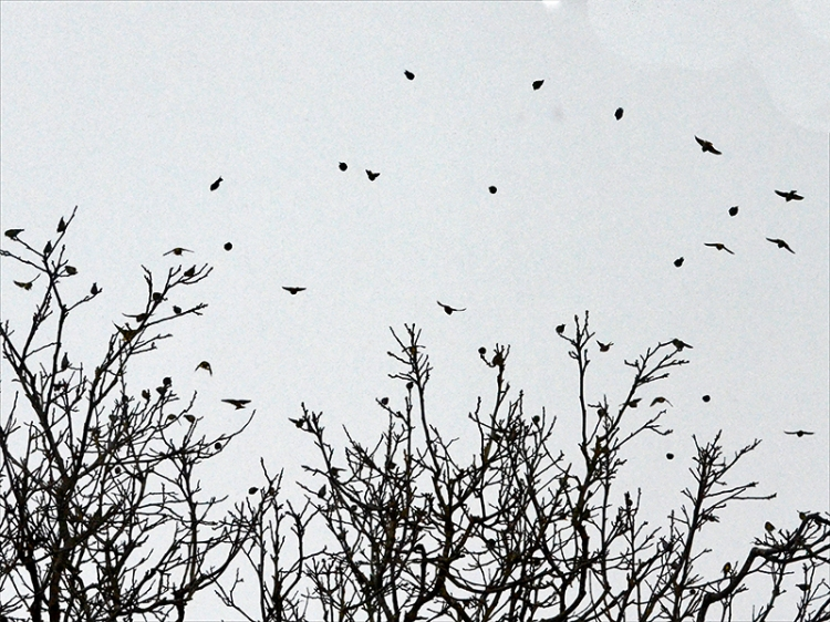 siskin flock in walnut
