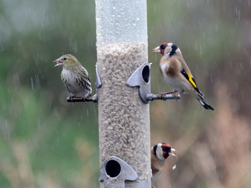 siskin goldfinch rain