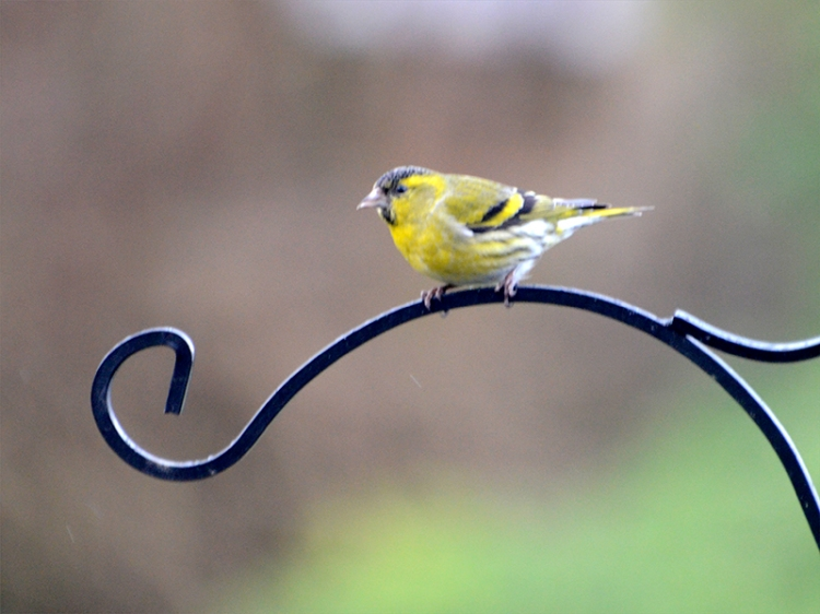 siskin on feeder arch