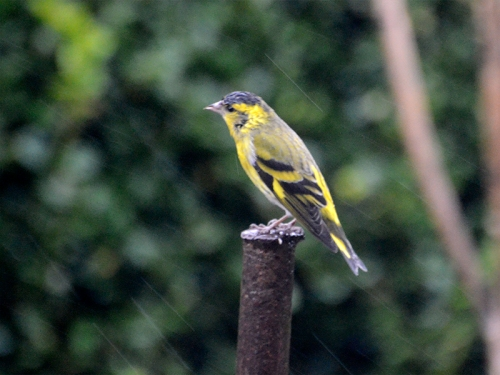 siskin on pole