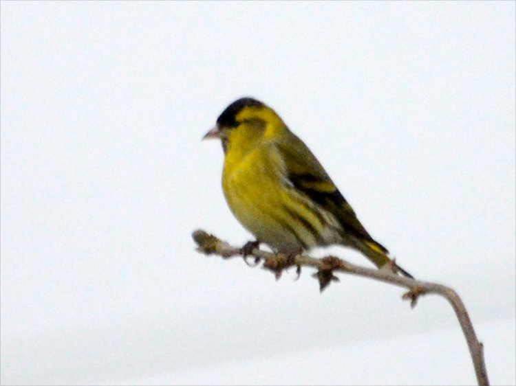 siskin out on a limb