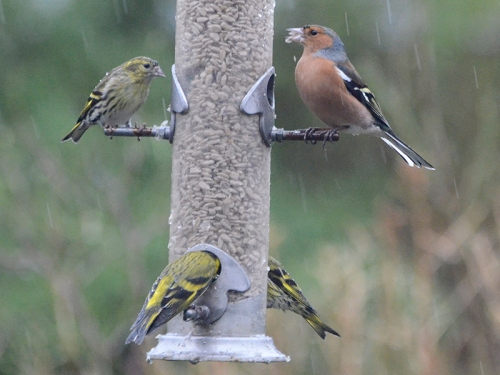 siskins and chaffinch rain