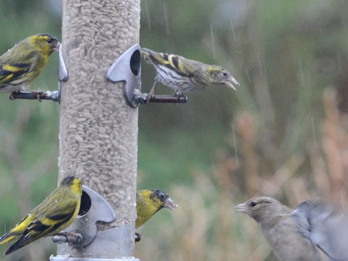 siskins being rude to chaffinch