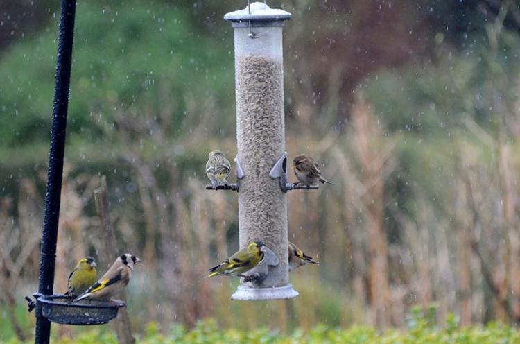 siskins in rain