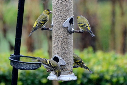 siskins on feeder in rain